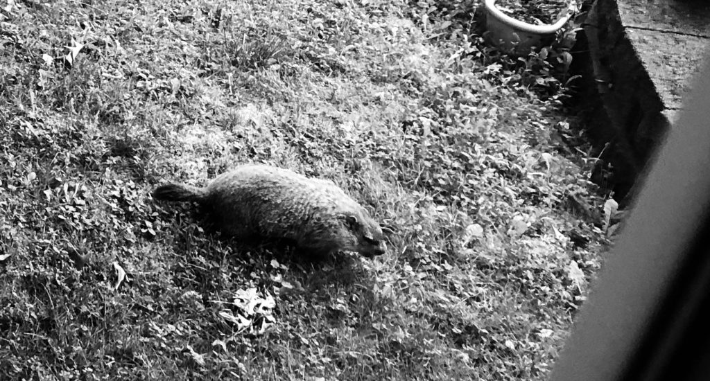 A groundhog approaching my house.